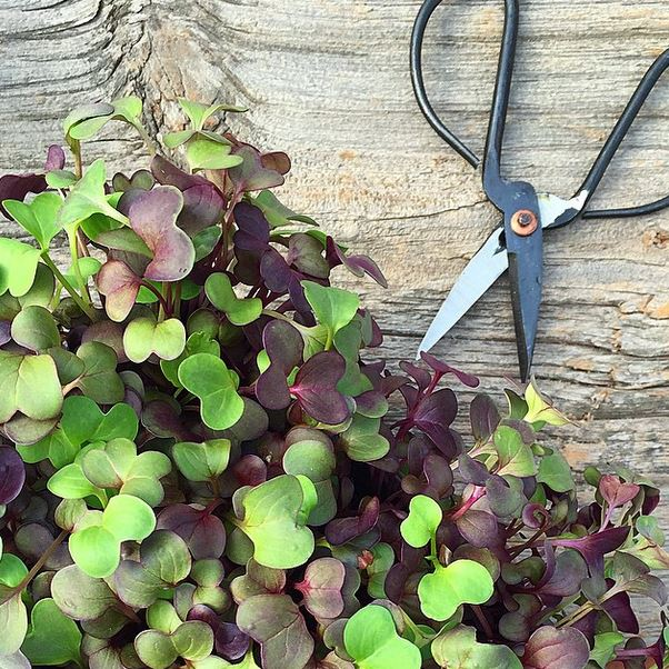 GoodWaterMicrogreens